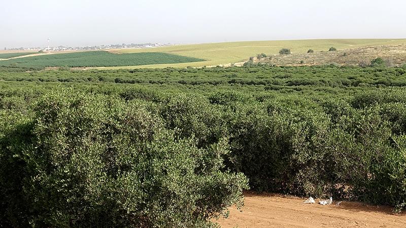 イスラエルの砂漠から来たホホバオイル