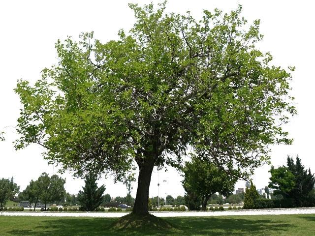 マホガニーの木の画像