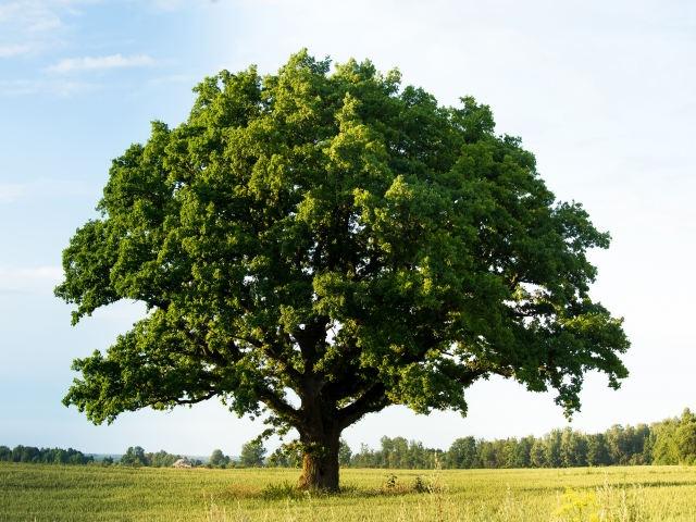 オーク材の木の画像