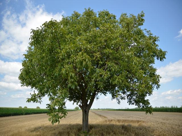 ウォルナット材の木の画像