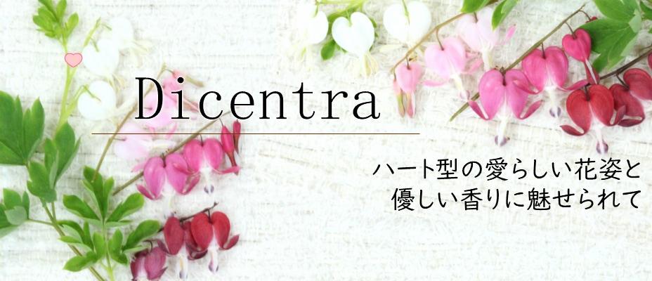 Dicentra ハート型の愛らしい花姿と優しい香りに魅せられて