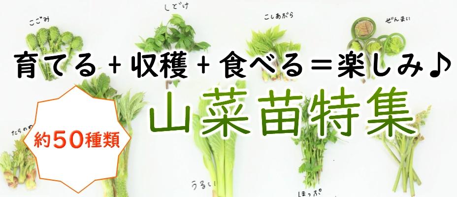 山菜苗特集