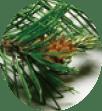 P-UP ボディヒーリングの素材のマツ種子油