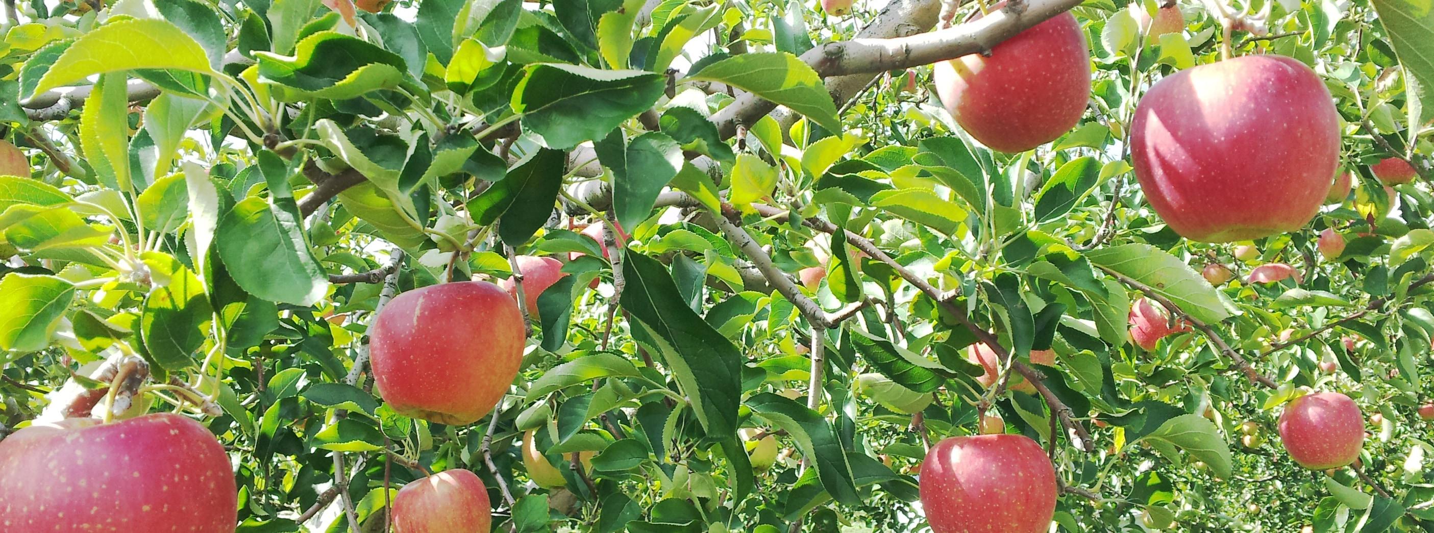 長野県小布施町スイートファーム|今年もリンゴの季節がやってきました!