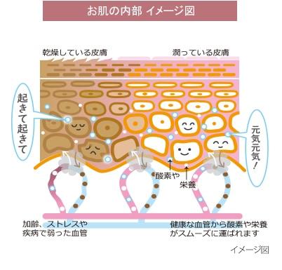 お肌の内部 イメージ図
