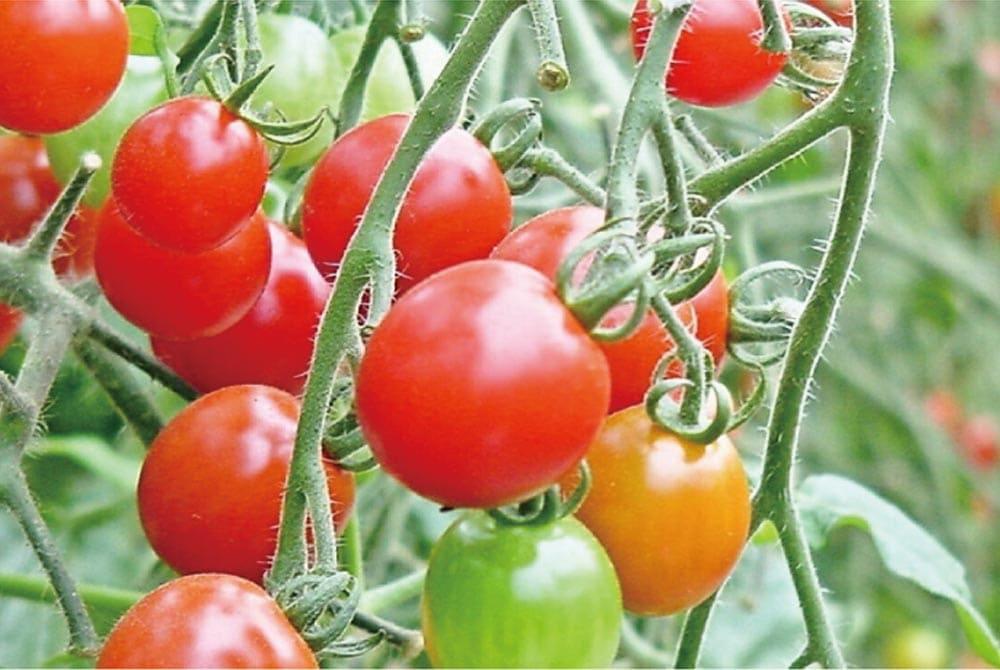 スパークリングトマト