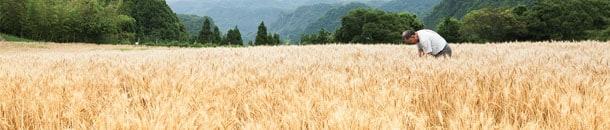 麦畑の画像
