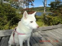 柴犬(白毛)の小雪ちゃん