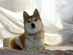 柴犬のサラちゃん