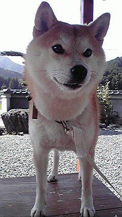柴犬のハルちゃん