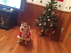 柴犬(豆柴)のそらちゃん