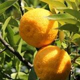 とり田特製柚子胡椒