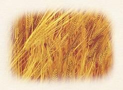 国産二条大麦100%使用
