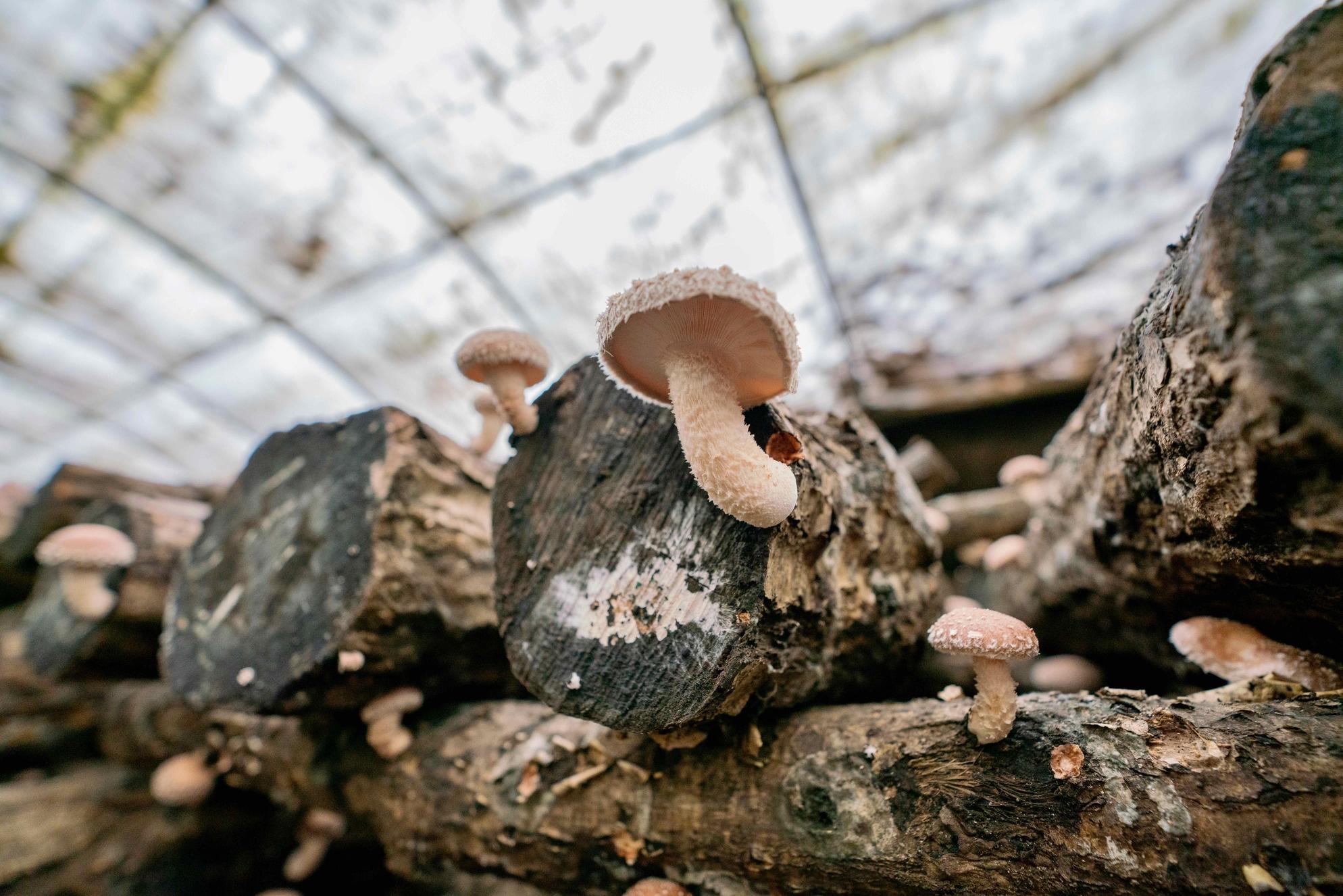 北海道むかわ町穂別の北上しいたけ園,榾木から生えてくる原木栽培の椎茸