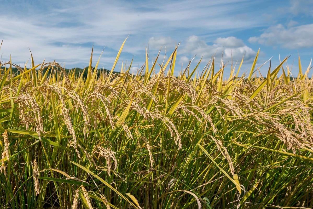 収穫間近の黄金色の稲穂が広がる,北海道産のお米,小坂農園の田んぼ