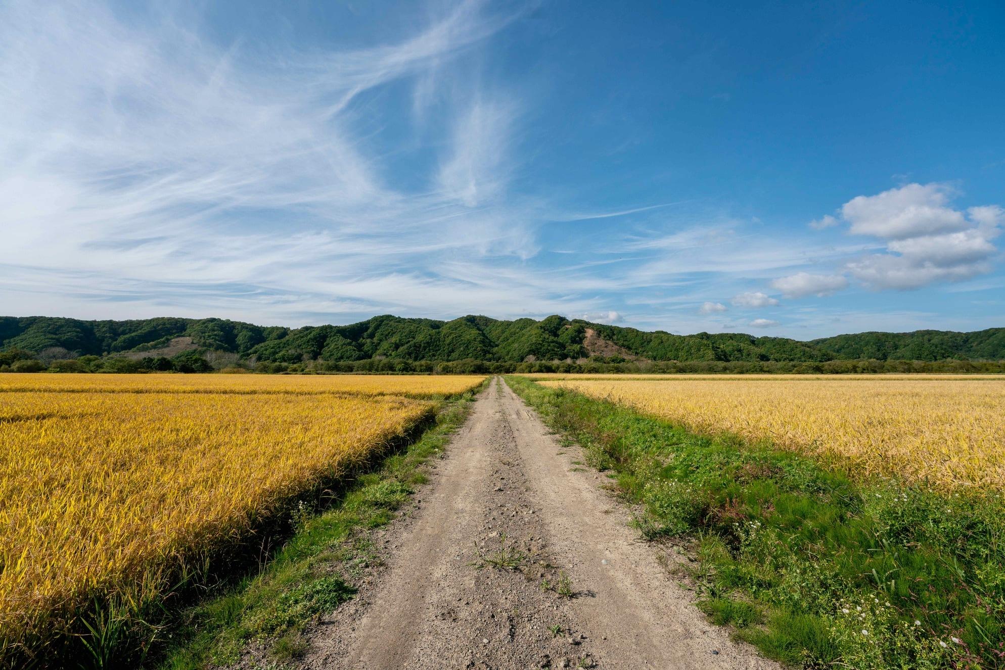 北海道むかわ町にある小坂農園の田んぼ,黄金色の稲穂が広がる風景
