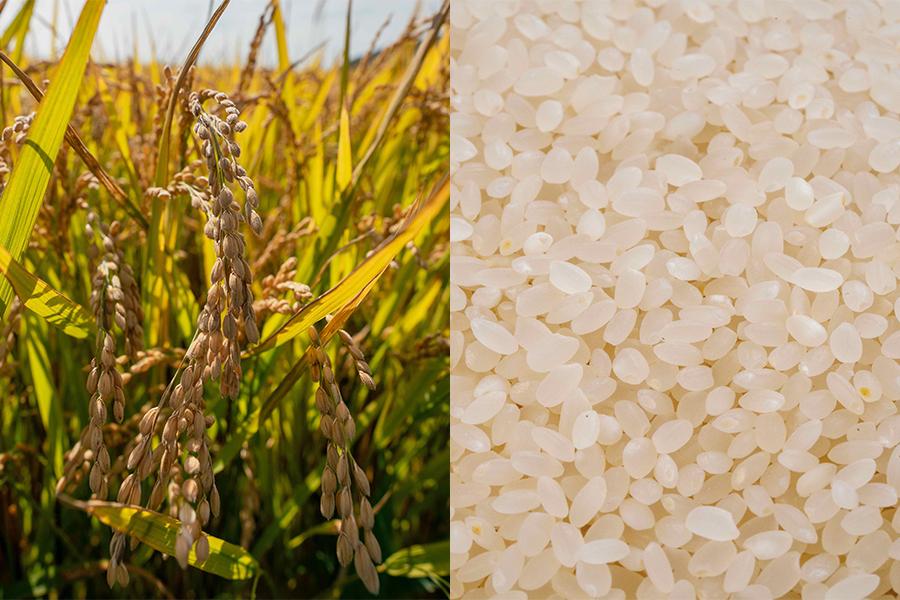 小坂農園のゆきさやかの稲穂と白米,北海道米