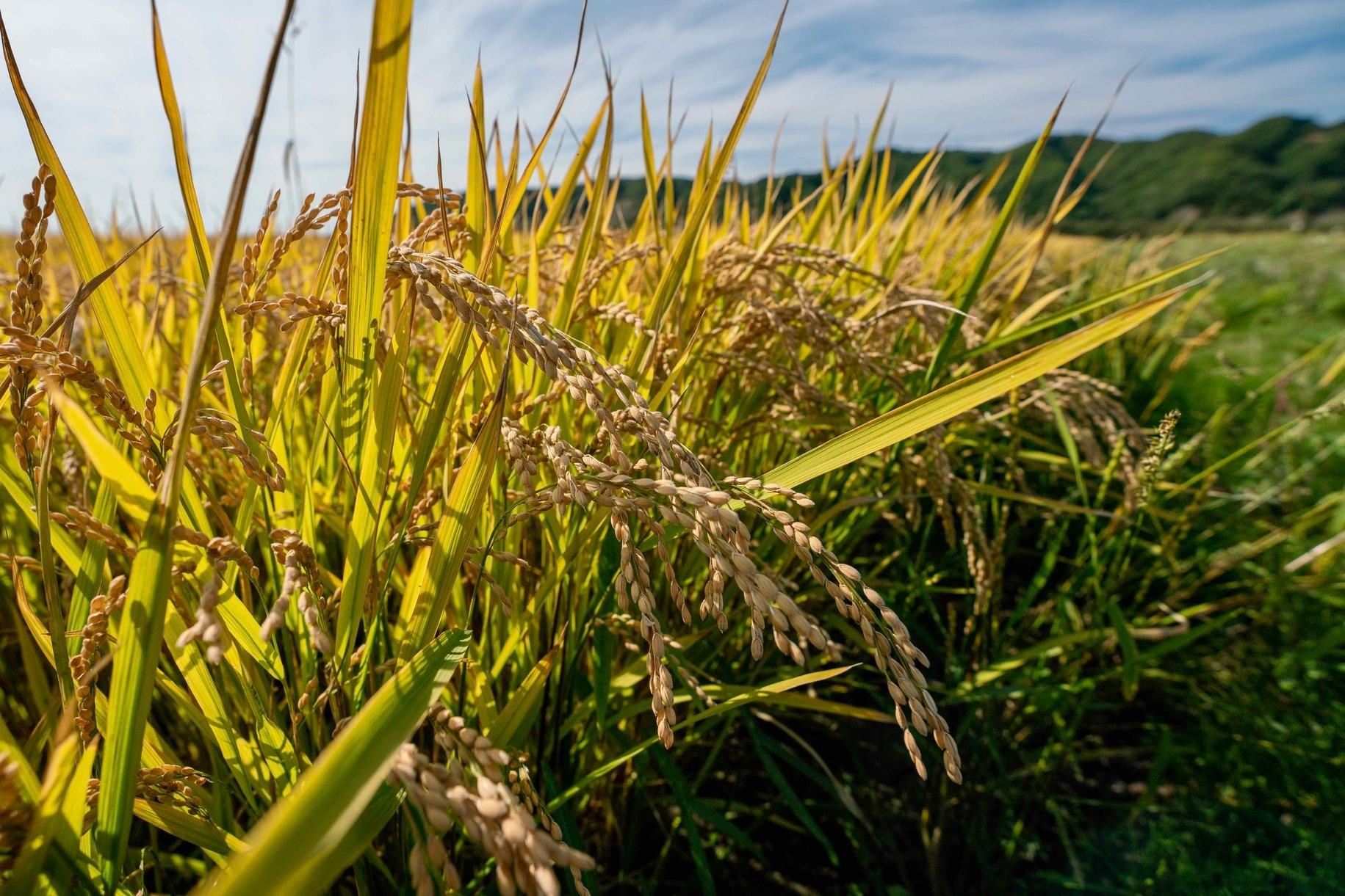 収穫を控える稲穂,北海道産のお米,小坂農園のゆきさやか