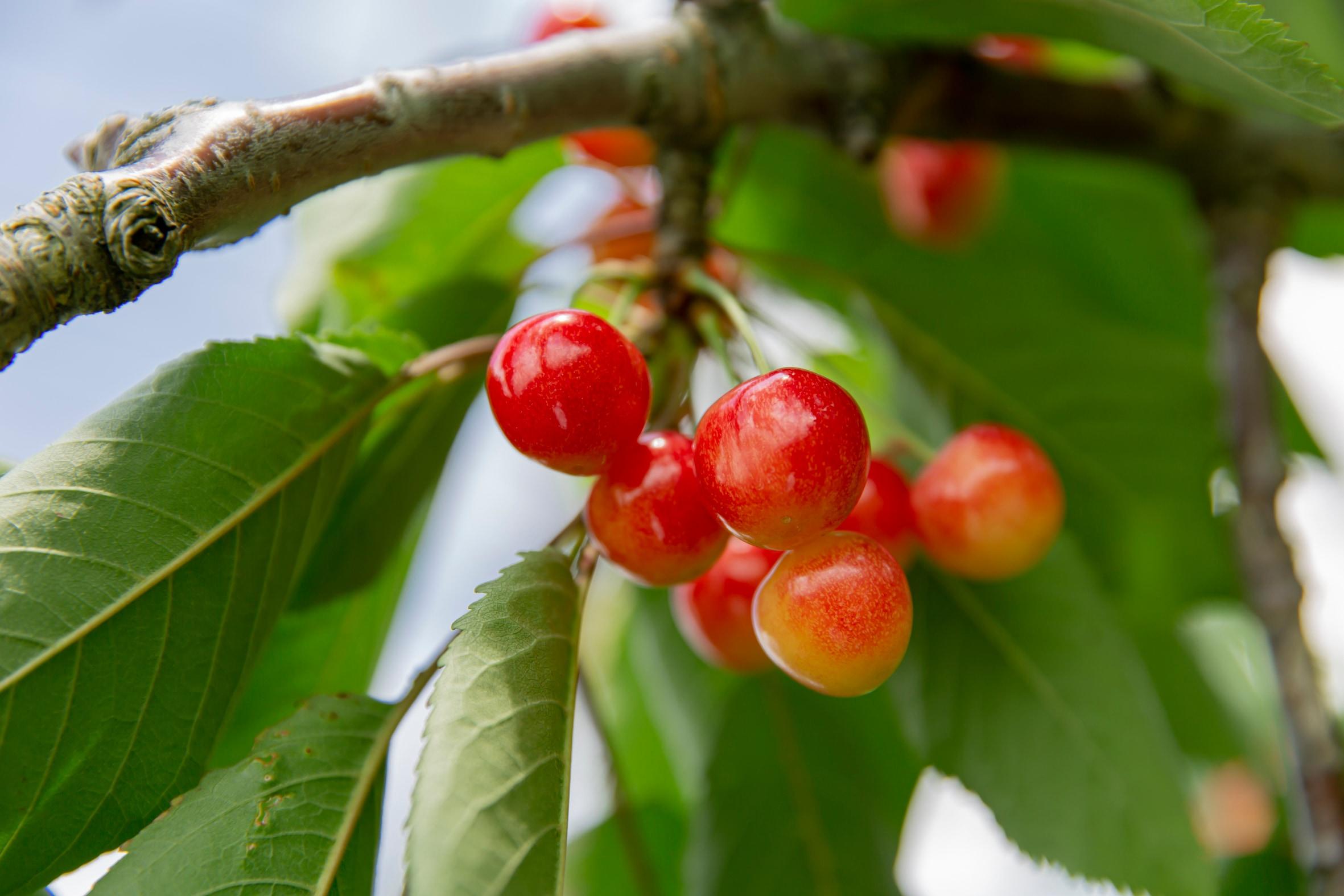 NIKIYA FARM & BREWERY -にきや-の木になるさくらんぼ,佐藤錦