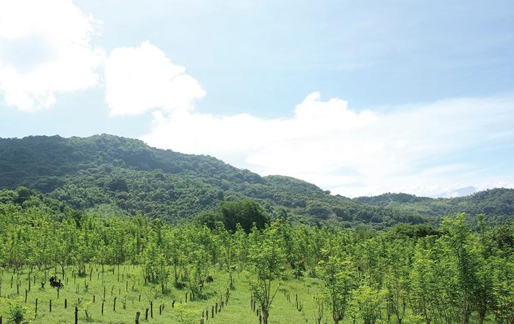 フィリピンのモリンガ畑