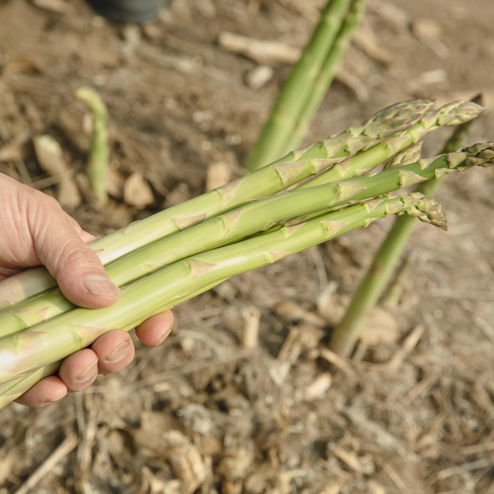 収穫したてのグリーンアスパラ,アスパラを手に取る