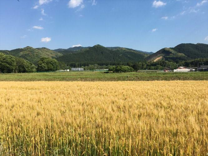 桑原氏の麦畑