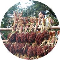 イメージ:雑穀を天日干しにする
