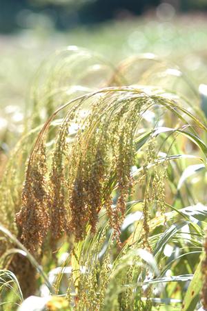 イメージ:実った雑穀