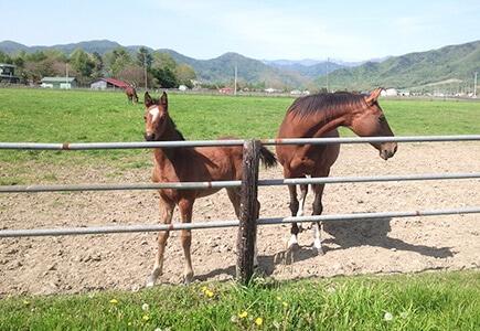 町内の130程の育成牧場で2,500頭にも及ぶ軽種馬が育成されています