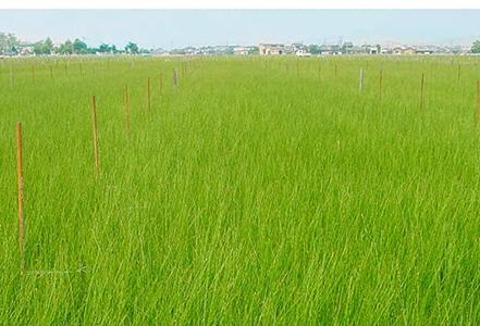 九州の清らかな水と澄んだ空気の中で育った国産のい草