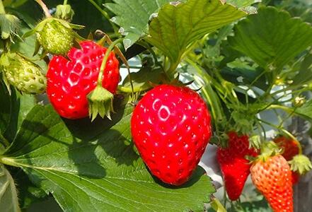 イチゴ並みの糖度を誇り、フルーツとして扱うのがふさわしい甘さです
