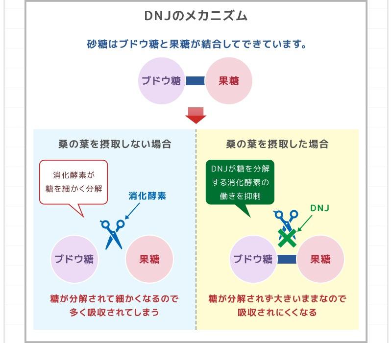 桑の葉特有のDNJ(デオキシノジリマイシン)は、消化酵素が糖を細かく分解するのを防ぎ、身体に吸収されにくくします。