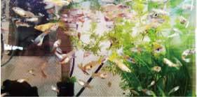 ウモガ UMOGA 香川 熱帯魚 グッピー