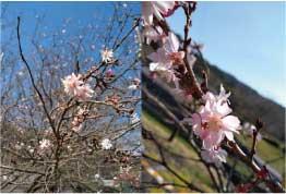 ウモガ UMOGA UMOGA 桜 さくら