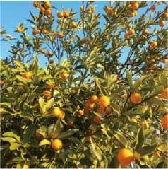 ウモガ UMOGA UMOGA 柑橘類