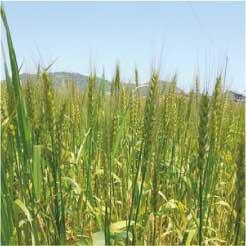 ウモガ 麦畑