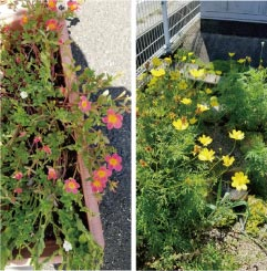 ウモガ ブログ 夏の花ポーチュラカ 黄花コスモス