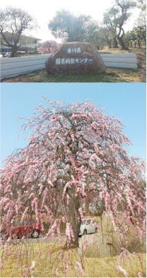 ウモガ ブログ 香川県園芸総合センター 梅 名所 園芸 栽培展示