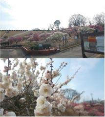 ウモガ ブログ 香川県園芸総合センター 梅 満開