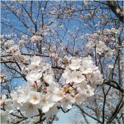 ウモガ ブログ 桜 さくら のぼり 旗 のれん 幕