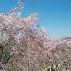 ウモガ ブログ 桜 さくら