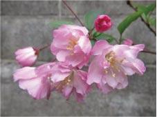 ウモガ ブログ umoga カイドウ 桜