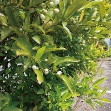 ウモガ ブログ 八朔の木 つぼみ