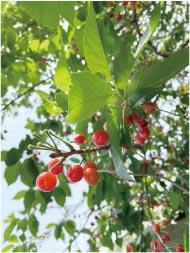 ウモガ ブログ サクランボの木 実
