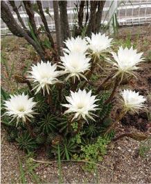 ウモガ ブログ サボテンのお花 お祝い