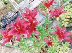 ウモガ ブログ お花 百合 真っ赤な百合