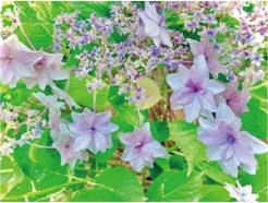ウモガ ブログ 紫陽花 あじさい 花