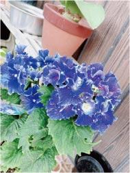 ウモガ ブログ 紫陽花 珍しい花弁