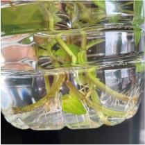 ウモガ ブログ 植物 ミント
