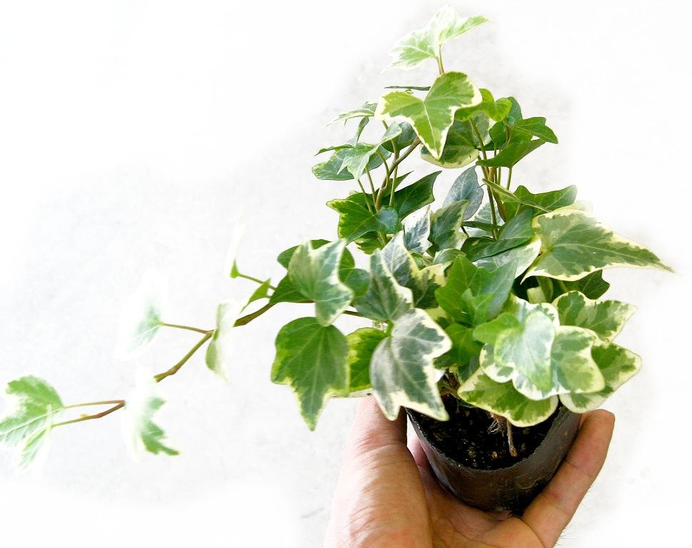 【1株から販売】 【良株】 ロングアイビー斑入り苗(2.5〜3号ポット)*(寄せ植え・ベランダガーデン・夏花壇・ 寄せ植え)